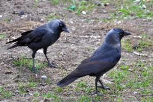 Corvus.Monedula