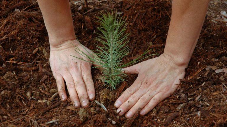 Лес-садят